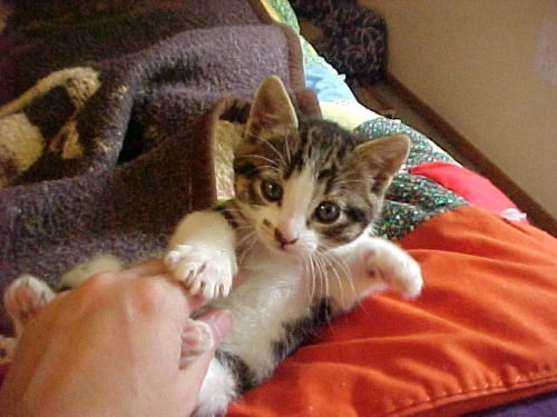 Pizazz as a kitten